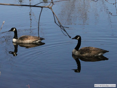 Geese on the pond of Tournenvert